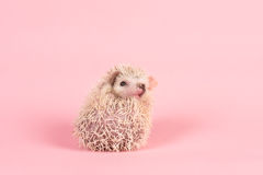 Cute rolled up African pygmy hedgehog Royalty Free Stock Image