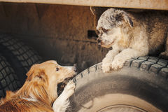 Cute romantic brown dogs looking at each other Stock Photo