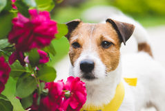 Cute romantic dog with red flowers. Jack Russell Terrier pet at a garden Royalty Free Stock Images