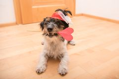Romantic Jack Russell Terrier dog. Lovable dog is holding a heart to the Valentine`s Day in the mouth stock photos