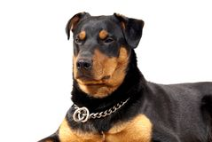 Cute Rottweiler Pincher Royalty Free Stock Image