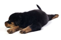 Cute Rottweiler Puppy Stock Photography