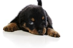 Cute Rottweiler Puppy Stock Images