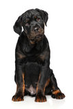 Cute Rottweiler puppy sits Stock Image