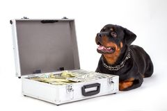 Cute rottweiler and suitcase with currency. Dog of breed rottweiler lying on white background near silver diplomat full of cash, studio shot. Protect your Royalty Free Stock Photos