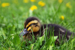 Cute Rouen Duckling Sleeping Stock Photos