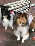 Cute Rough Collie. Cute Rough Collie or Long-Haired Collie Royalty Free Stock Images
