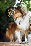 Cute rough collie standing at the door Stock Photography