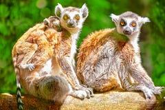 Cute  ruffed lemur Stock Image