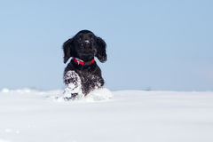 Cute running puppy in the snow Royalty Free Stock Photo