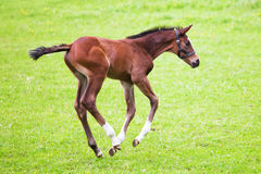 Cute running foal Royalty Free Stock Image