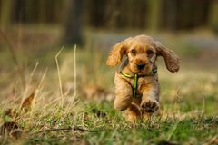 Cute running puppy of golden cocker spaniel. A cute puppy of golden cocker spaniel is running and playing in the woods. He´s happy to be out stock images