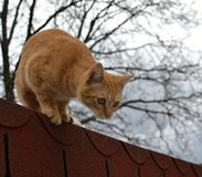 Cute rusty cat just about to jump. From the roof stock images