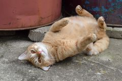 Cute rusty fat cat lying on its back. Cute rusty fat lazy cat lying and resting on its back royalty free stock photo