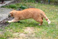 Cute rusty kitten jump and catch something interesting. In the garden royalty free stock photo