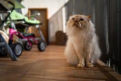 A cute Sacred Birman cat royalty free stock image