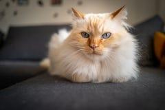 A cute Sacred Birman cat stock photography