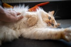 A cute Sacred Birman cat royalty free stock photography