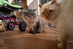 A cute Sacred Birman cat royalty free stock photos