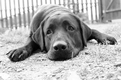 Cute sad dog in B&W. (e.g. can be used for 'Missing You' or 'Please, Forgive Me' postcards Royalty Free Stock Photography