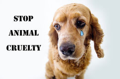 Cute sad English Cocker Spaniel puppy in front of. A white background with a tear sketch and stop animal cruelty sign Royalty Free Stock Photos
