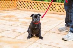 Cute sad expression staffordshire bull terrier puppy. Cute  staffordshire bull terrier puppy with a sad expression on his face sitting on a patio next to a man Royalty Free Stock Photo