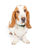 Cute and Sad Looking Basset Hound Dog. A pretty Basset Hound dog sitting and looking into the camera with a sad expression stock photography