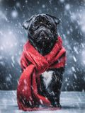 Black pug dog gazing sadly in a winterstorm. Royalty Free Stock Images
