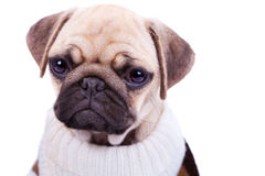 Cute and sad sad pug puppy dog isolated on white Royalty Free Stock Images