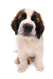 Cute Saint Bernard Puppy on White Royalty Free Stock Photography