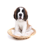 Cute Saint Bernard Puppy on White Royalty Free Stock Photo