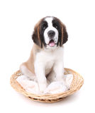 Cute Saint Bernard Puppy on White Stock Image