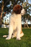 Cute Saint Bernard Purebred Puppy Royalty Free Stock Images