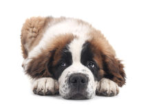 Cute Saint Bernard Purebred Puppy Stock Photography