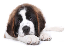 Cute Saint Bernard Purebred Puppy Royalty Free Stock Photography