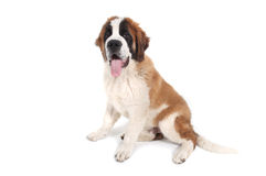Cute Saint Bernard Purebred Puppy Stock Image