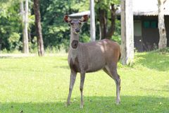 A cute Sambar deer standing on the grass stock photography