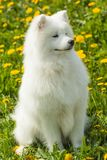 Cute Samoyed dog in the grass Royalty Free Stock Photo