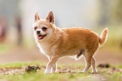 A cute sandy small Chorkie puppy dog standing on a rough ground smiling. A Yorkshire Terrier and Chihuahua cross dog in a countryside field or park. Taken from stock photography
