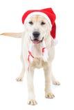 Cute santa claus labrador retriever dog standing Royalty Free Stock Photo