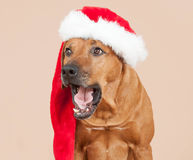 Cute santa dog with christmas cap Stock Photo