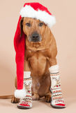 Cute santa dog with christmas cap and socks Royalty Free Stock Image