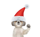 Cute santa dog is greeting you. Isolated on white Royalty Free Stock Photos