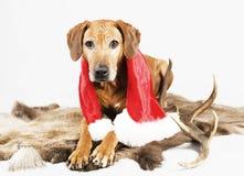Cute santa dog on reindeer fur Stock Photo
