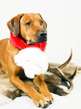 Cute santa dog with scarf royalty free stock photos