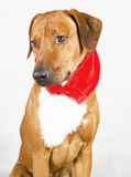 Cute santa dog with scarf stock photography