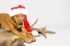 Cute santa dog on white Stock Images