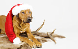 Cute santa dog stock images