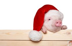 Cute piglet animal in santa hat hanging on a fence. Cute santa hat pig piglet santa hat baby animal Stock Image