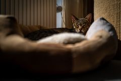 A cute Savannah cat in her bed.  stock photography